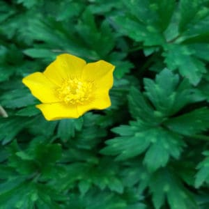 Golden cups of the buttercup family 1 1e Creeping buttercup Resized