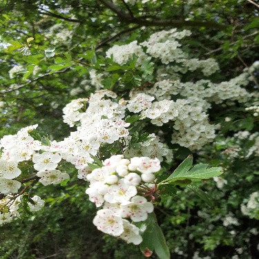 The Whiteness of May 1 1e Hawthorn blossom 1