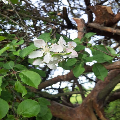 The Whiteness of May 2 2e Crab apple blossom 2
