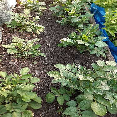 Earthing up or moulding potatoes 3 3ae Sapro Mira 3a