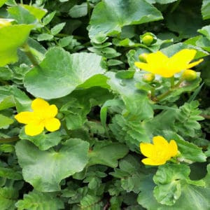 Golden cups of the buttercup family 3 3e Marsh marigold Resized