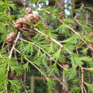 Unfolding buds 5 4e Larch leaves