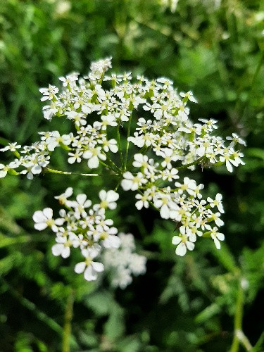 Unmissable roadside flowers 1 1ae Cow parsley 1a