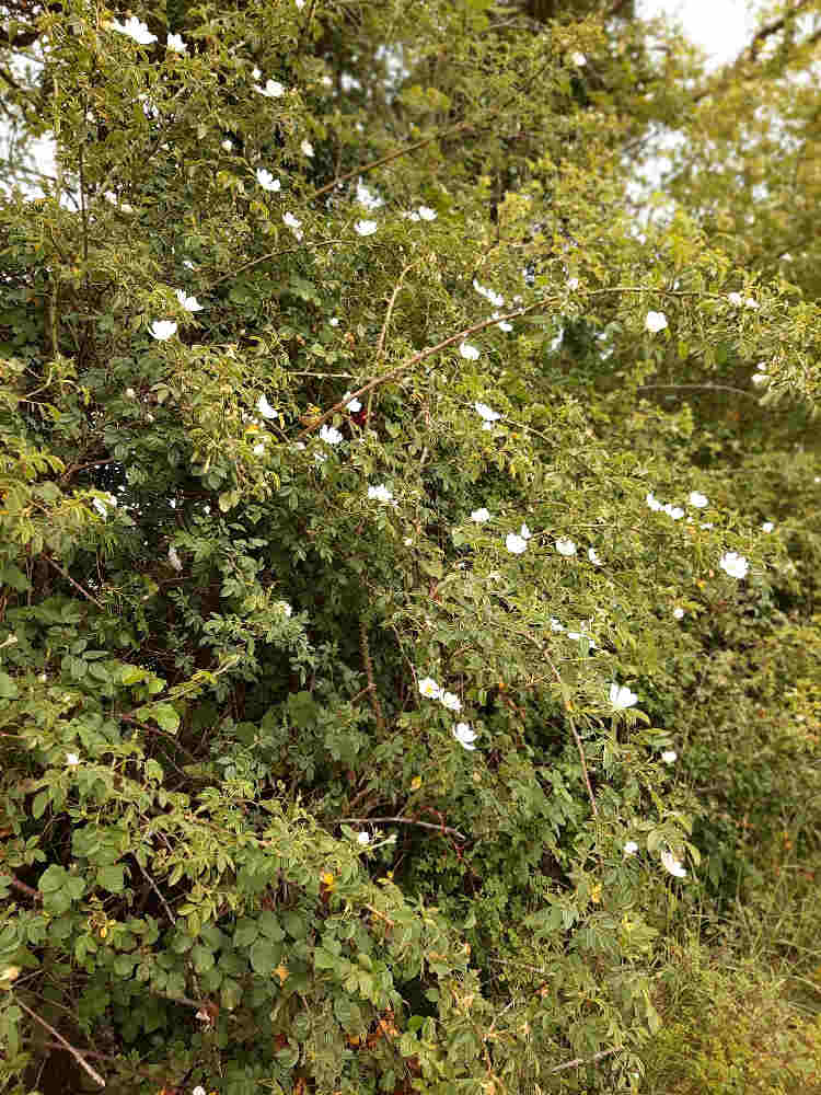 Two More Beauties of the June Hedgerow 2 1be Masses of Dog rose 1b