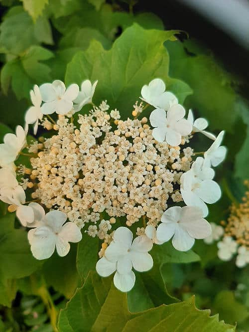 Two Beauties of the June Hedgerow 3 2ae Viburnum flower 1a
