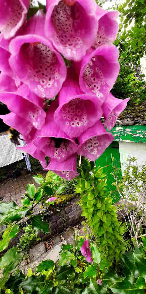 Purples/Pink Bells of High Summer 2 2e Foxglove flower being visited by bumblebees 2