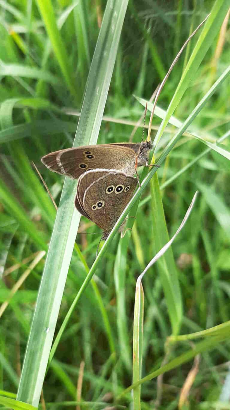 Ringlet, Meadow Brown and Speckled Wood Butterflies 2 1be Pair of Ringlets 1b