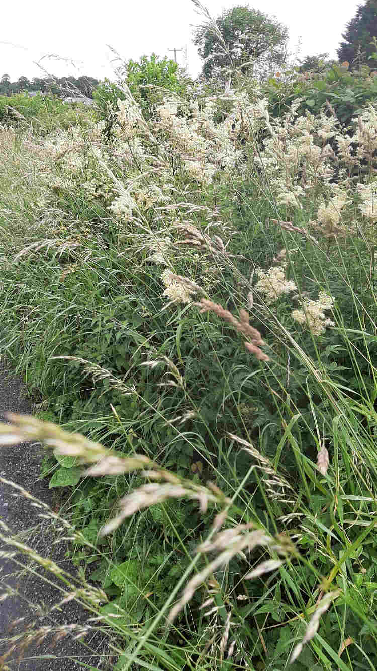 Unmissable Summer Scents 3 2be Mass of Meadow sweet on roadside 2b