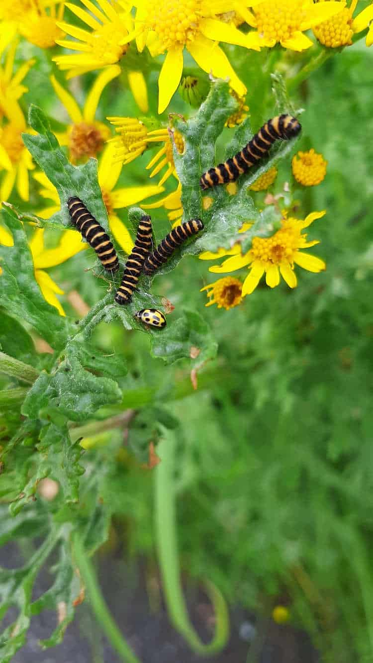 Poisons, Sweet Scents and Parasites 3 3e Cinnabar moth caterpillars 3