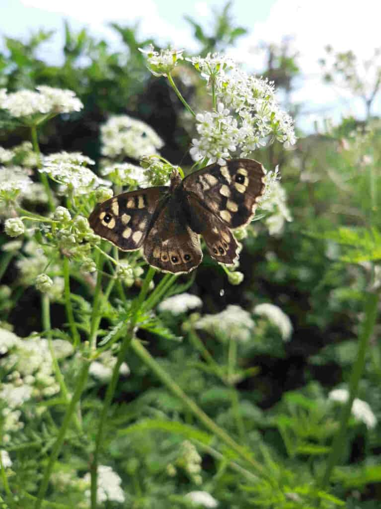 Ringlet, Meadow Brown and Speckled Wood Butterflies 4 3e Speckled wood 3
