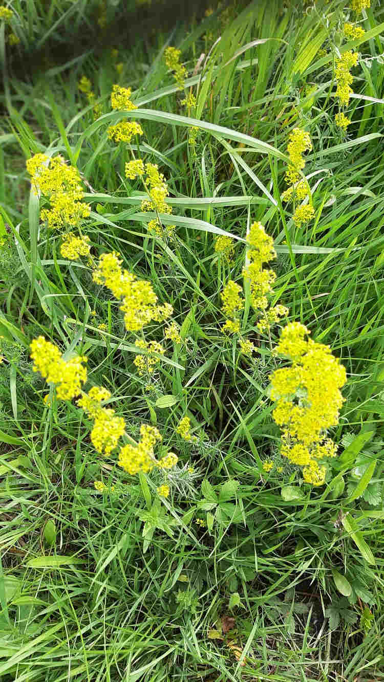 Poisons, Sweet Scents and Parasites 4 4e Ladys bedstraw 4