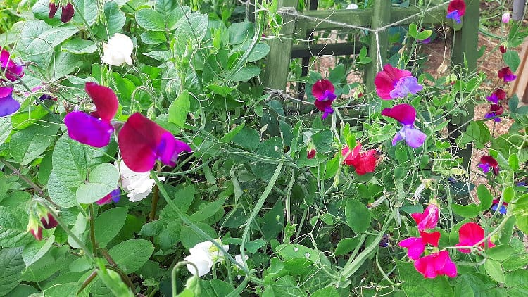 Peas for Bees 1 1ae Sweet peas 1a